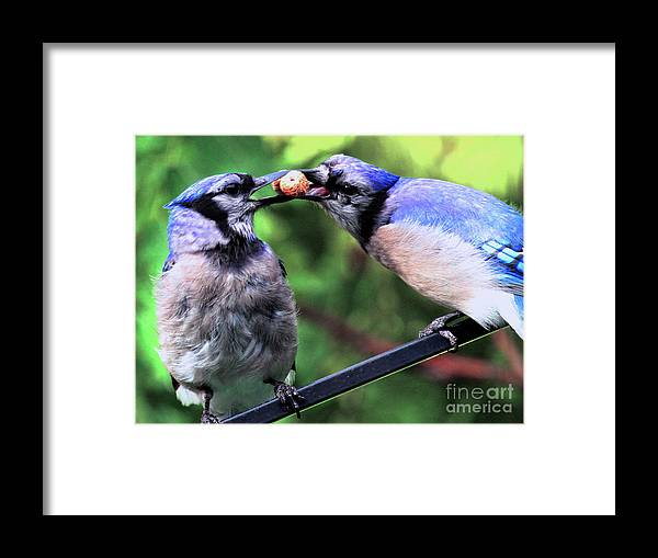 Wildlife Framed Print featuring the photograph Blue Jays Wooing 2 by Patricia Youngquist