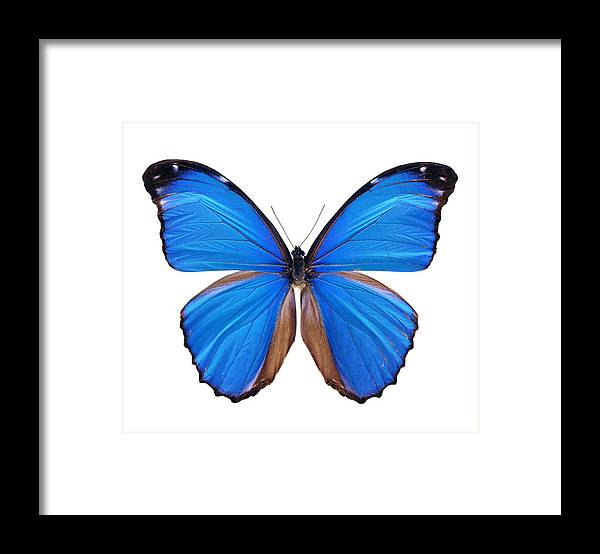 Amazon Rainforest Framed Print featuring the photograph Blue Morpho Butterfly - Large by Phototalk