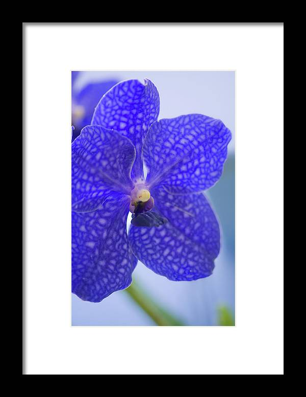 Rockville Framed Print featuring the photograph Blue Vanda Orchid Flower Close-up by Maria Mosolova