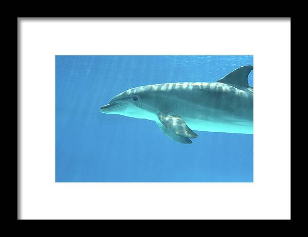 Underwater Framed Print featuring the photograph Bottlenose Dolphin by Anzeletti