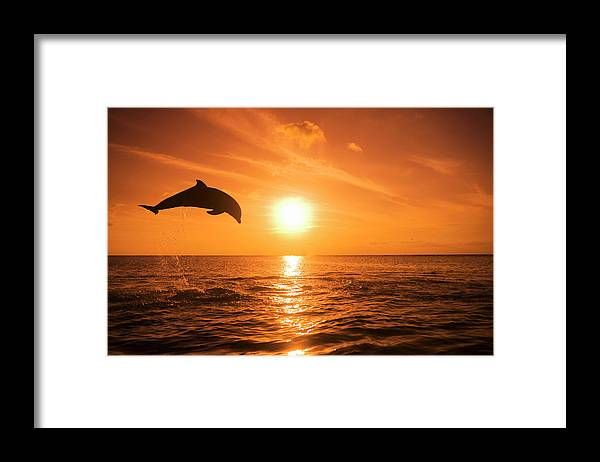 Orange Color Framed Print featuring the photograph Bottlenose Dolphin Tursiops Truncatus by Rene Frederick