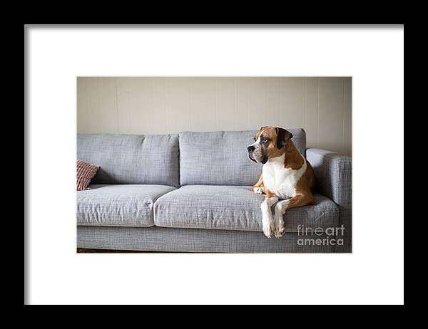 Bed Framed Print featuring the photograph Boxer Mix Dog Laying On Gray Sofa by Anna Hoychuk