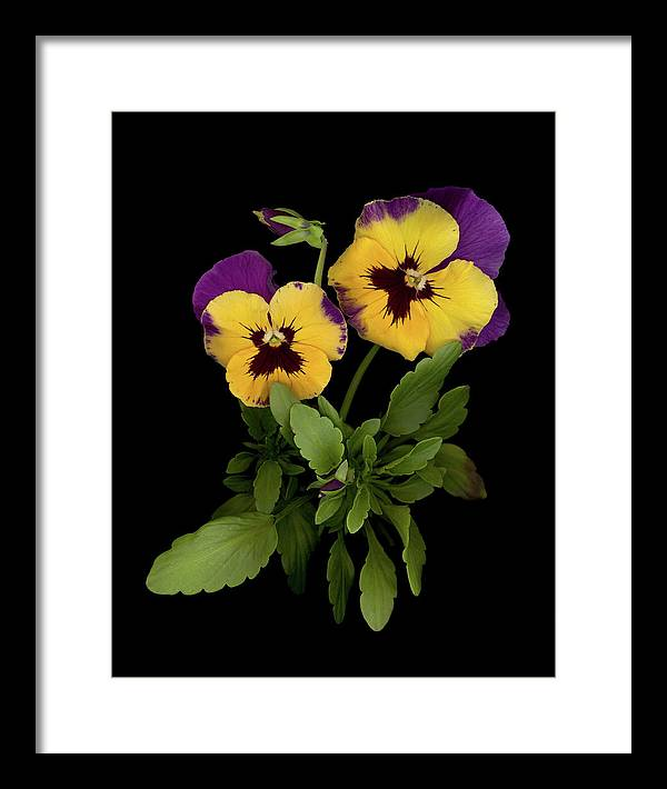 Pansy Flowers Framed Print featuring the photograph Bright Shining Faces by Sandi F Hutchins