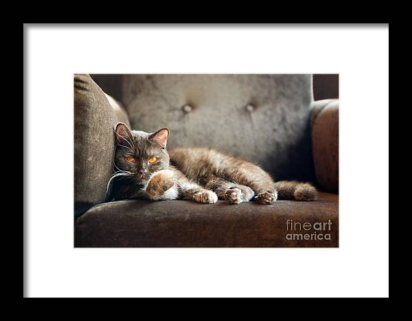 Fur Framed Print featuring the photograph British Cat At Home by Nina Anna