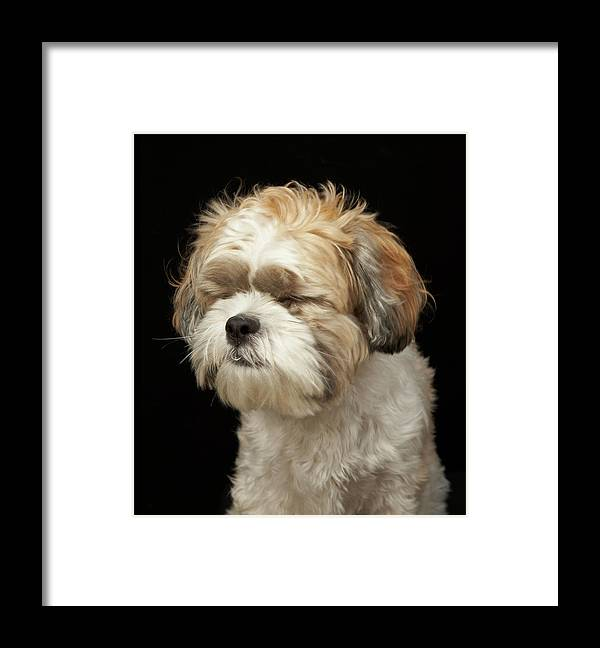 Pets Framed Print featuring the photograph Brown And White Shih Tzu With Eyes by M Photo