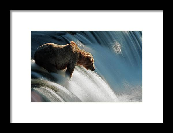 Poetry- Literature Framed Print featuring the photograph Brown Bear At Brooks Falls by Mark Newman