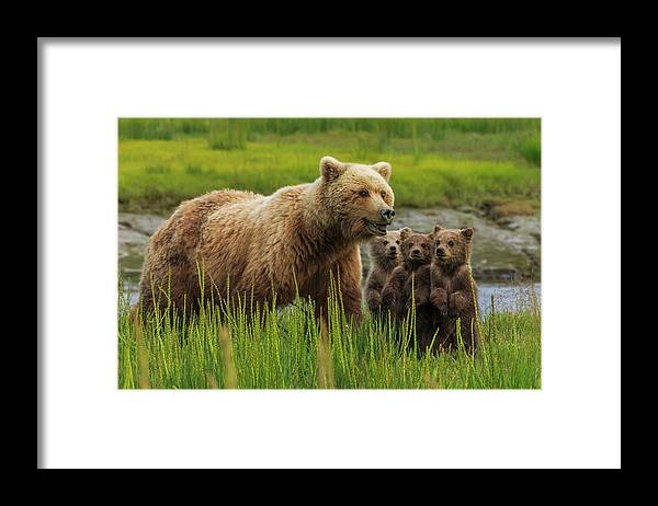 Brown Bear Framed Print featuring the photograph Brown Bear Sow And Cubs, In The Long by Mint Images - Art Wolfe
