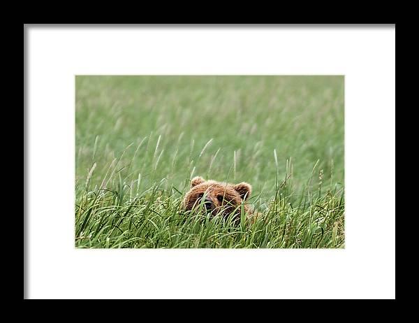 Katmai Peninsula Framed Print featuring the photograph Brown Bear by Trevor Johnston / Eye Meets World Photography