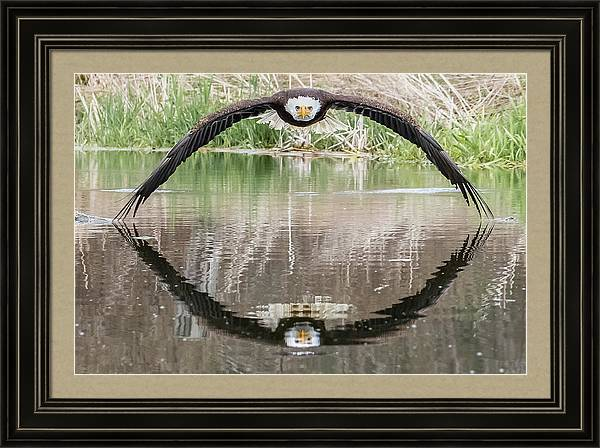 Bruce the Bald Eagle by Steve Biro