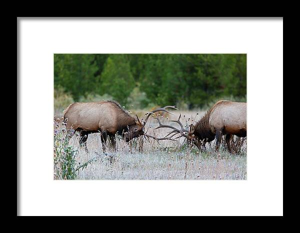 Bull Elk Framed Print featuring the photograph Bull Elk Battle Rocky Mountain National Park by Nathan Bush