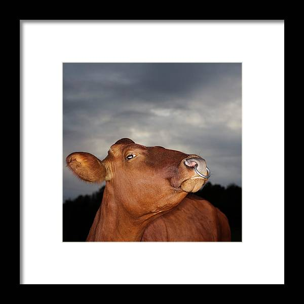 Sweden Framed Print featuring the photograph Bull In Evening Light by Roine Magnusson