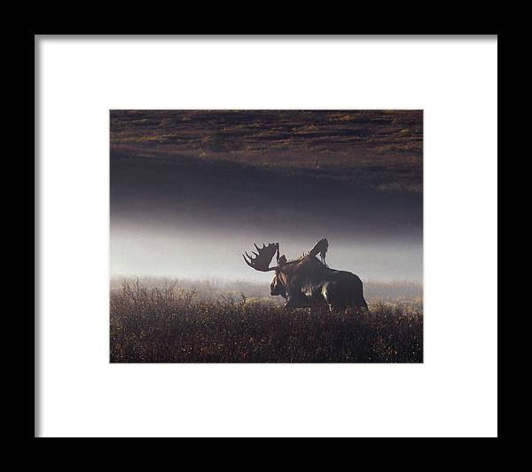 Majestic Framed Print featuring the photograph Bull Moose Alces Alces Walking Through by Johnny Johnson
