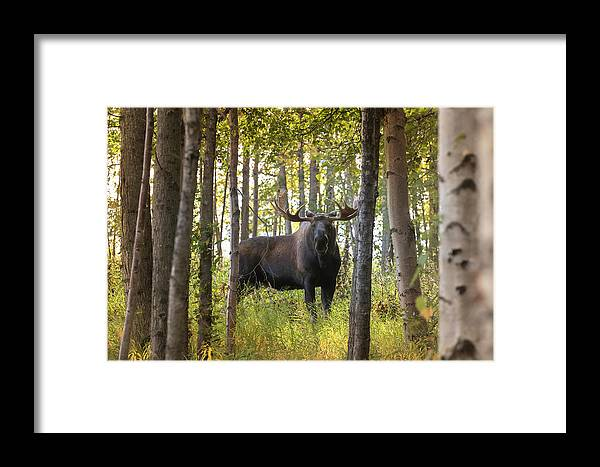 Alaska Framed Print featuring the photograph Bull Moose In Fall Forest by Scott Slone