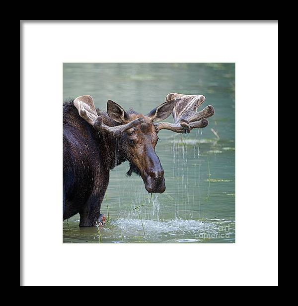 Deer Framed Print featuring the photograph Bull Moose In Water Wetland Pond Lake by Tom Reichner
