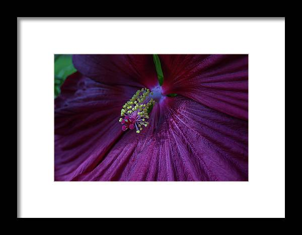 Hibiscus Framed Print featuring the photograph Burgundy Hibiscus by Linda Howes