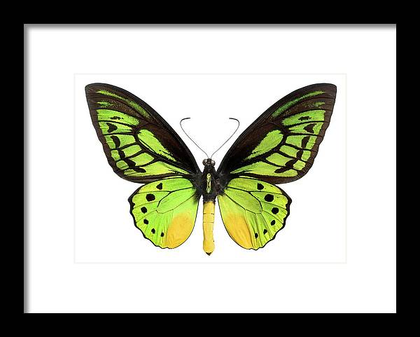 White Background Framed Print featuring the photograph Butterfly Lepidoptera With Green, Black by Flamingpumpkin