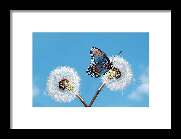 Animal Themes Framed Print featuring the photograph Butterfly On Dandelion by Maria Wachala