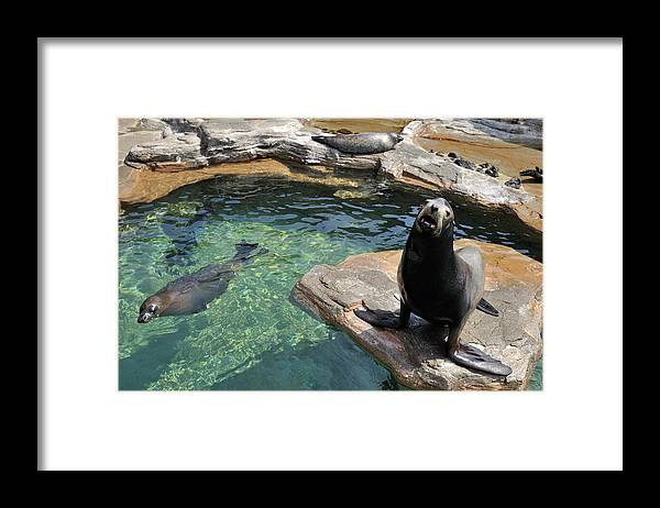 Sea Lion Framed Print featuring the photograph California Sea Lion And Spotted Seal by T. Nakamura Volvox Inc.