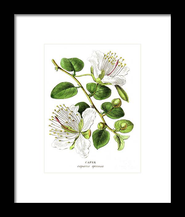 Engraving Framed Print featuring the digital art Caper Specie Engraving Illustration by Thepalmer