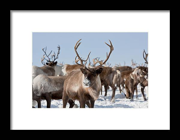 Reindeer Framed Print featuring the photograph Caribou Group On Pastures In The by Sergey Krasnoshchokov