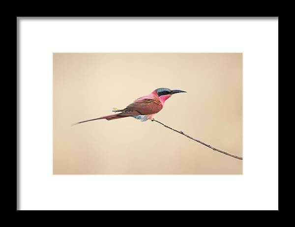 Southern-carmine-bee-eater Framed Print featuring the photograph Carmine Bee-eater by Marco Pozzi
