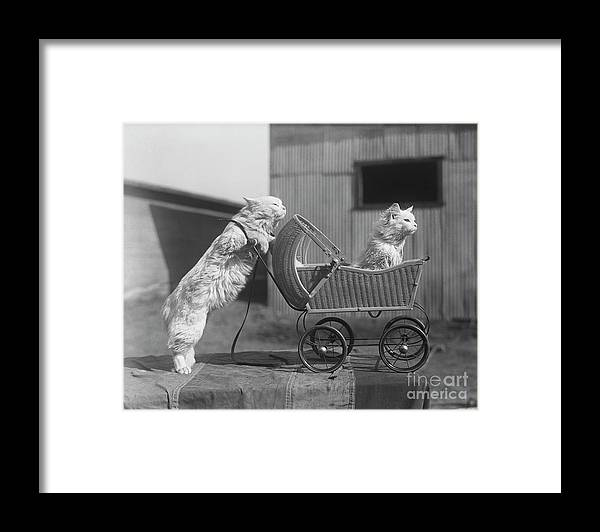 Baby Carriage Framed Print featuring the photograph Cat Pushing Cat In Baby Carriage by Bettmann