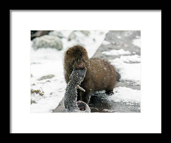 Mink Framed Print featuring the photograph Catch of the Day by Randy J Heath
