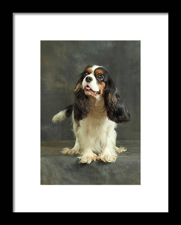 Pets Framed Print featuring the photograph Cavalier King Charles Spaniel by Sergey Ryumin