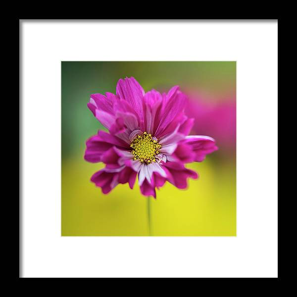Cerise Pink Cosmos Flower Framed Print By Jacky Parker Photography