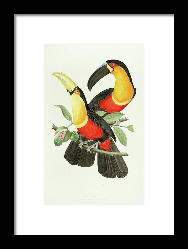 Channel-billed Toucan Framed Print featuring the painting Channel-billed Toucan by Jean-Theodore Descourtilz