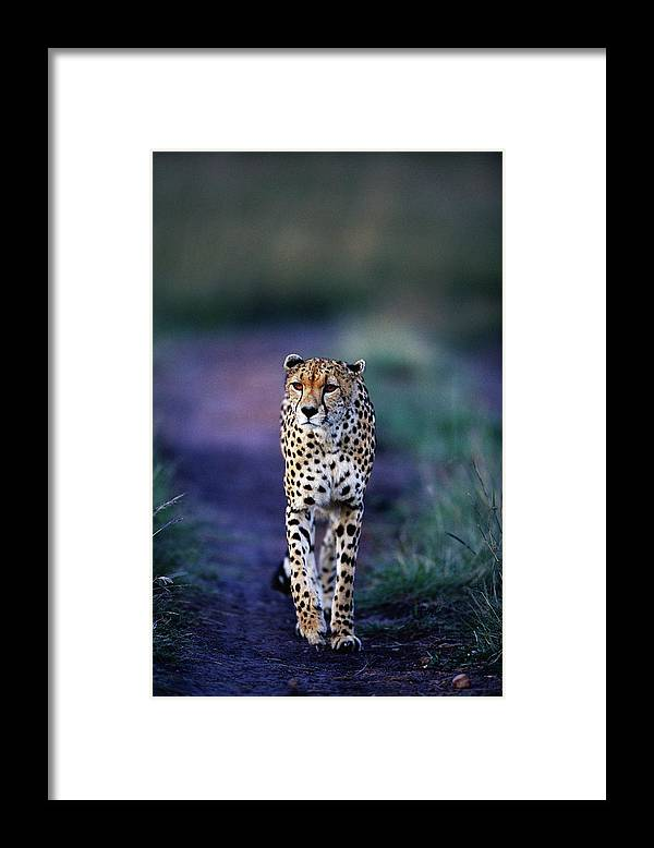 Kenya Framed Print featuring the photograph Cheetah Acinonyx Jubatus by Anup Shah