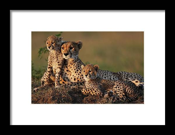 Kenya Framed Print featuring the photograph Cheetah Family by Gp232
