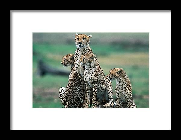 Kenya Framed Print featuring the photograph Cheetahs Acinonyx Jubatus., Masai Mara by Mark Newman
