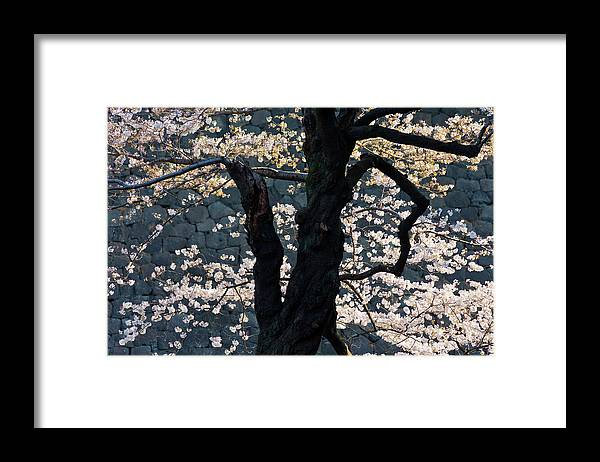 Tranquility Framed Print featuring the photograph Cherry Blossoms At The Imperial Palace by B. Tanaka