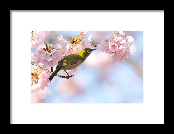 Animal Themes Framed Print featuring the photograph Cherry Blossoms by Myu-myu