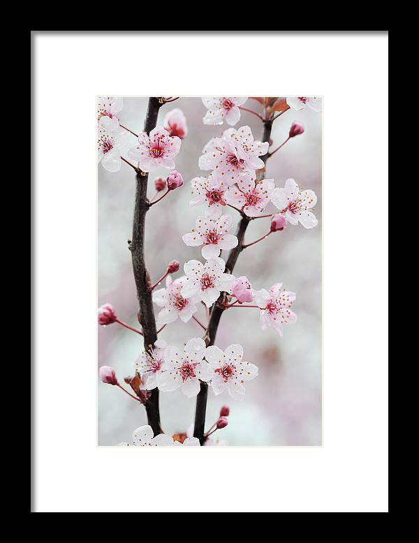 Cherry Framed Print featuring the photograph Cherry Plum Purple Plum Pink Flowers On by Martin Ruegner