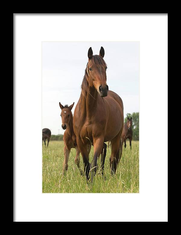 Horse Framed Print featuring the photograph Chestnut Thoroughbred Mare And Foal by Lesliejmorris