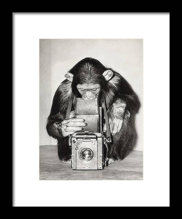 Animal Themes Framed Print featuring the photograph Chimpanzee Looking Through Vintage Box by Fpg