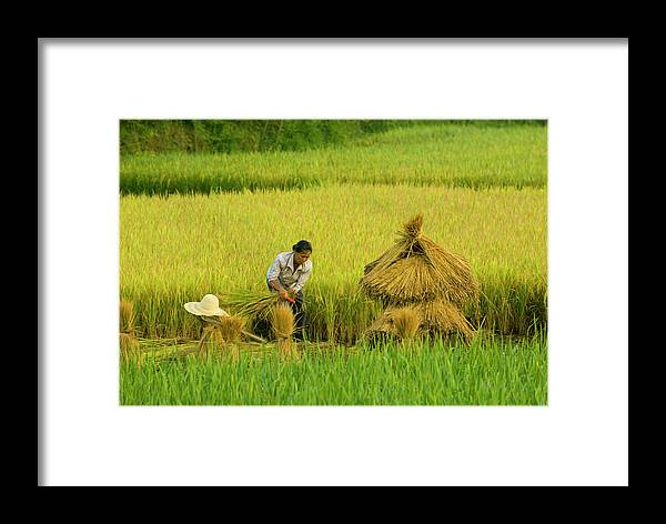 Working Framed Print featuring the photograph Chinese Farmer Working In Rice Harvest by Nancy Brown