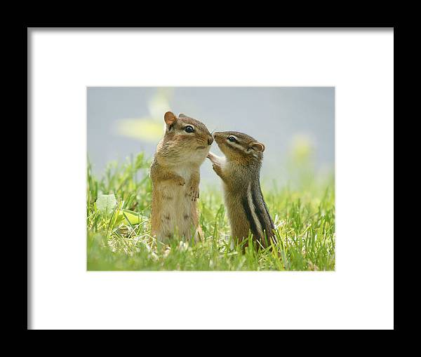 Grass Framed Print featuring the photograph Chipmunks In Grasses by Corinne Lamontagne