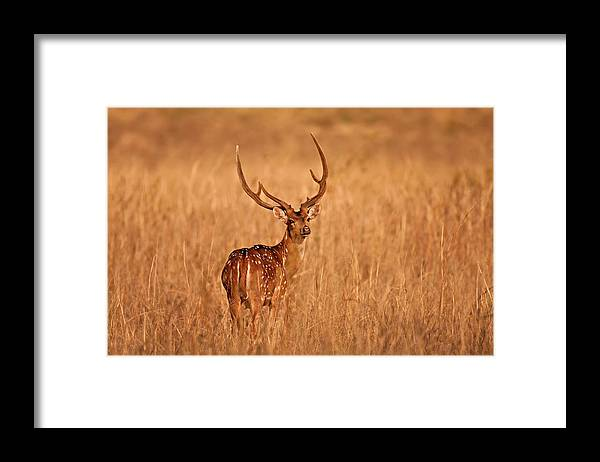Animal Themes Framed Print featuring the photograph Chital - Kanha Tiger Reserve by The Eternity Photography -