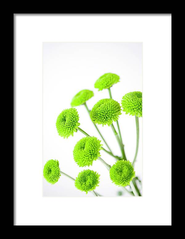 White Background Framed Print featuring the photograph Chrysanthemum Flowers by Nicholas Rigg