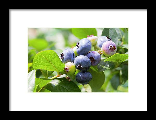 Yamanashi Prefecture Framed Print featuring the photograph Close-up Of Blueberry Plant And Berries by Daisuke Morita