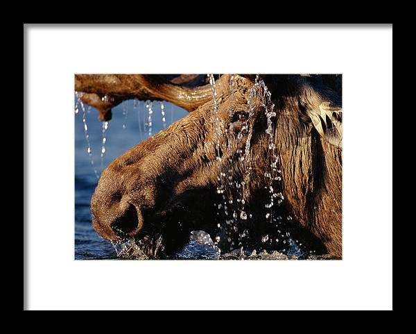 Male Animal Framed Print featuring the photograph Close-up Of Bull Moose Alces Alces With by Eastcott Momatiuk