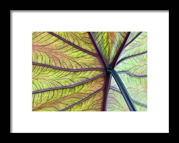 Voodoo Doll Framed Print featuring the photograph Close Up Of Colocasia Esculenta Leaf by Deb Casso