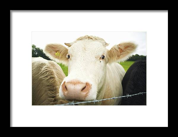Free Range Framed Print featuring the photograph Close Up Of Cows Face by Peter Muller