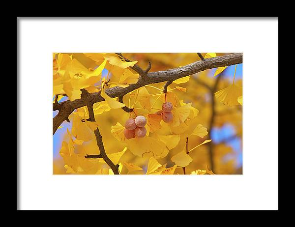 Ginkgo Tree Framed Print featuring the photograph Close-up Of Gingko Tree In Autumn by Wada Tetsuo/a.collectionrf