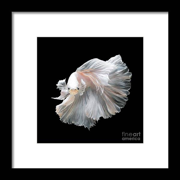 Fancy Framed Print featuring the photograph Close Up Of White Platinum Betta Fish by Nuamfolio