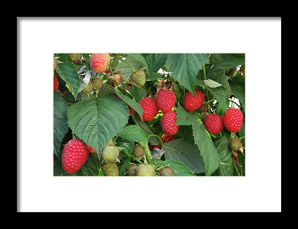 Non-urban Scene Framed Print featuring the photograph Close-up Ripening Organic Raspberries by Gomezdavid