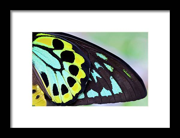 Tropical Rainforest Framed Print featuring the photograph Colorful Male Birdwing Butterfly by Jodijacobson